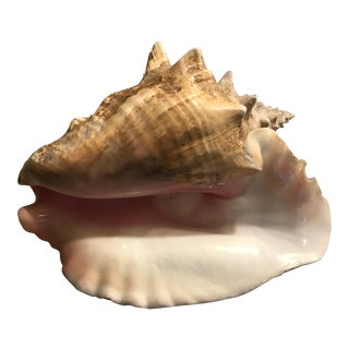 Pink Bahamian Conch Shell