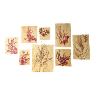 Blackwell Botanicals Pressed Red Seaweed Specimens, Set of 8