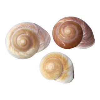Large Natural Snail Shells- Set of 3