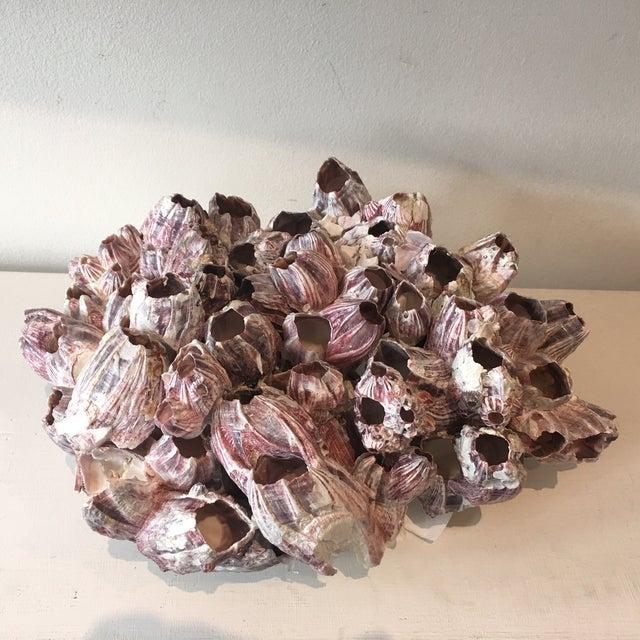Natural Barnacle Cluster Specimen - Image 3 of 5