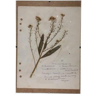 Vintage Horseradish Botanical Journal Page