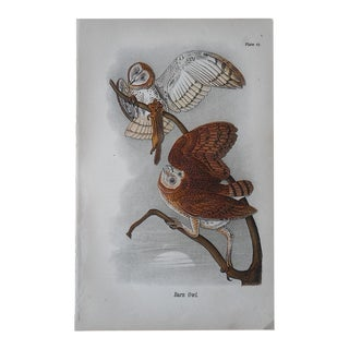 Antique Chromolithograph of American Barn Owls