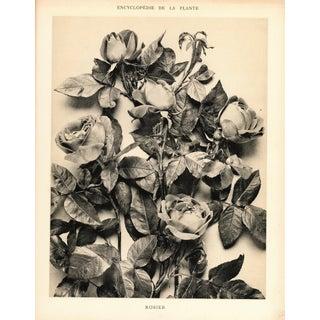 Vintage Botanical Art Photograph