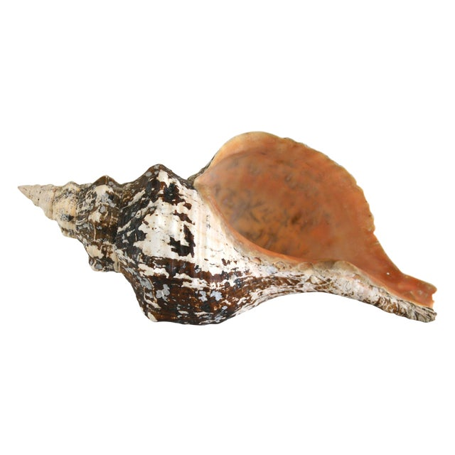 Large Horse Conch Shell - Image 1 of 5