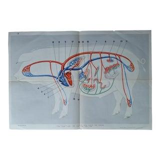 Vintage Anatomical Pig Poster