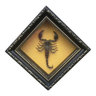 Framed Taxidermy Scorpion In A Decorative Black Frame