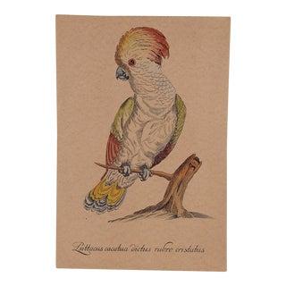 Rose Cockatoo Etching
