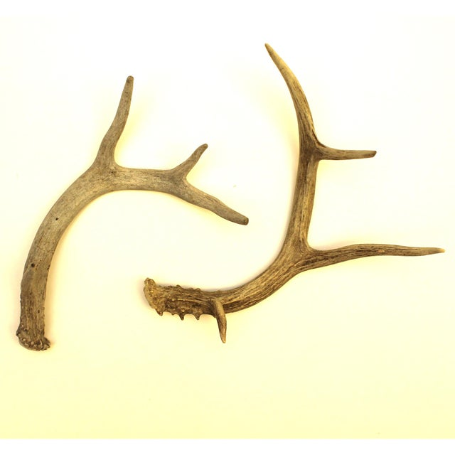 White-Tailed Deer Antlers - Pair - Image 2 of 4