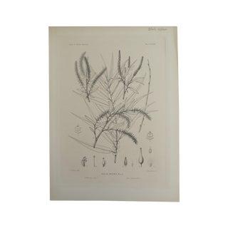 Salix Nigra Botanical Print