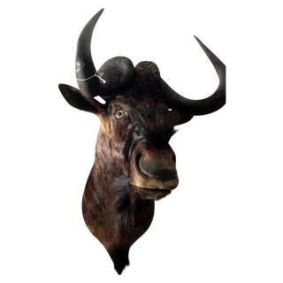 African Black Wildebeest Taxidermy Mount
