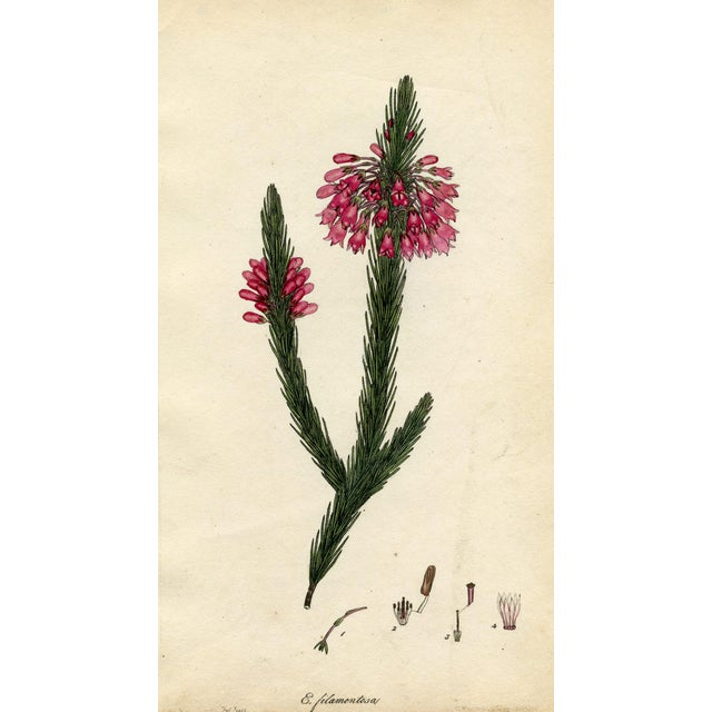 Henry Andrews 1804 Botanical Heather Print - Image 1 of 5