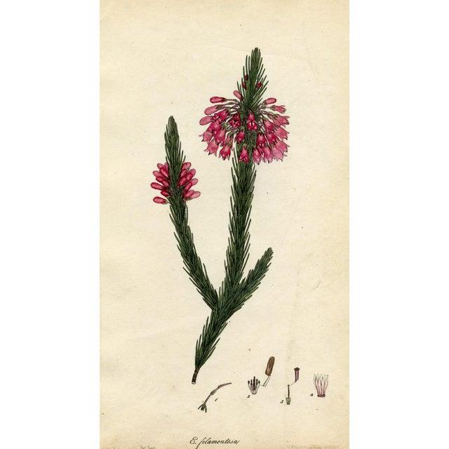 Image of Henry Andrews 1804 Botanical Heather Print