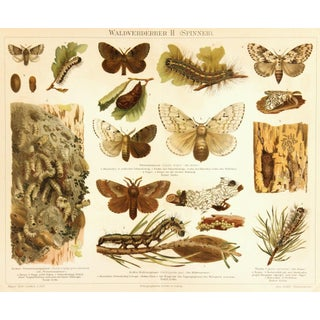Antique Butterfly Print, 1894