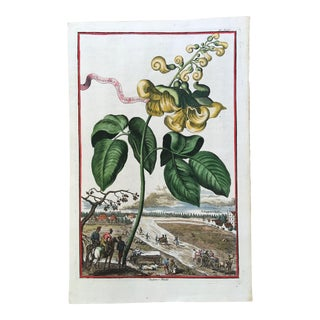 Early 18th Century Antique Botanical Engraving by Johann Volckamer