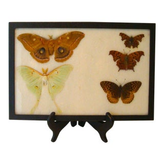 Luna Moth & Butterfly Scientific Display Case