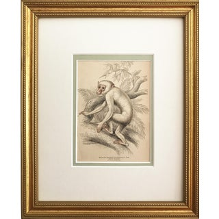 Antique Engraving Monkey White Maimon c.1836