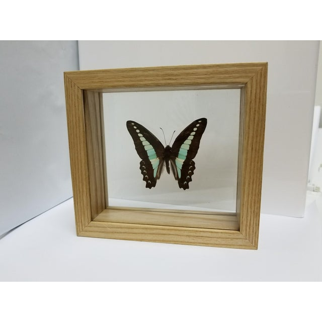 Indonesian Framed Swallowtail Butterfly - Image 2 of 5