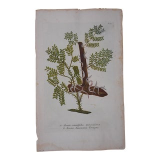 Johann Weinmann Botanical Mezzotint, Circa 1740