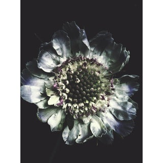 "Ashley Woodson Bailey ""Scabiosa"" Photograph"