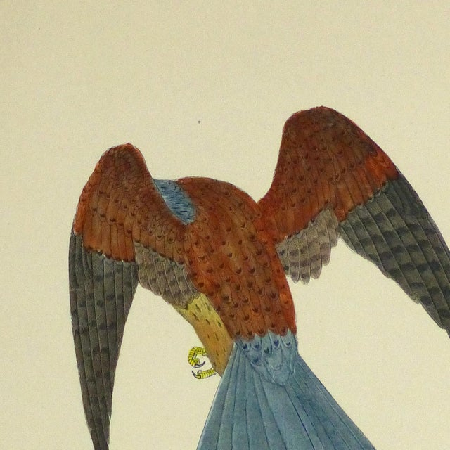 Image of Antique Bird Print Engraving, Kestrel, C. 1870