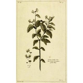 Antique Engraving - Lonicera Cœrulea, 1773