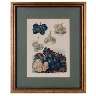 Muscadine, Muscat Variety Grapes, Color Lithograph c1891