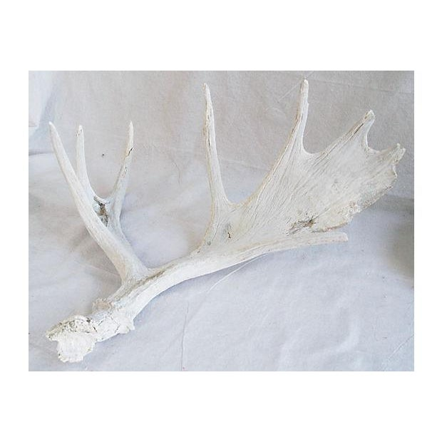 Large Naturally-Shed Moose Antlers - A Pair - Image 7 of 8