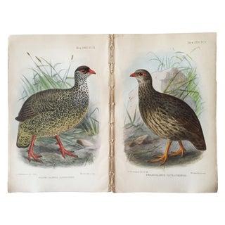 Ornithological Chromolithograph Prints - Pair