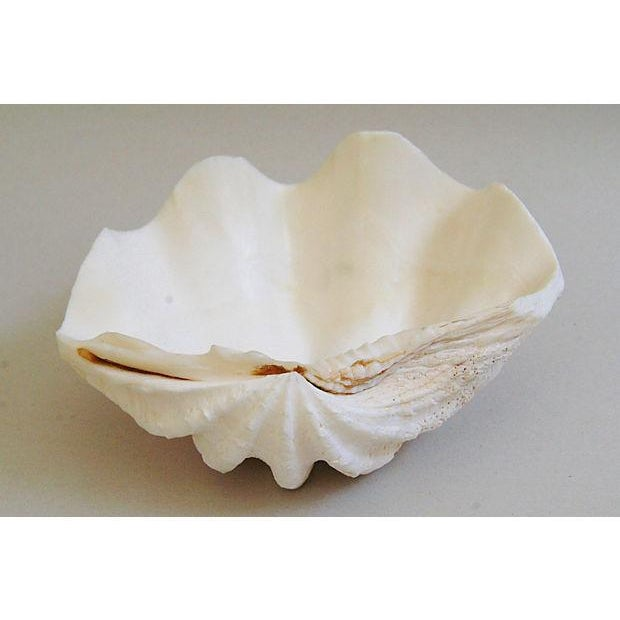Image of Natural Saltwater Clamshells - Set of 3