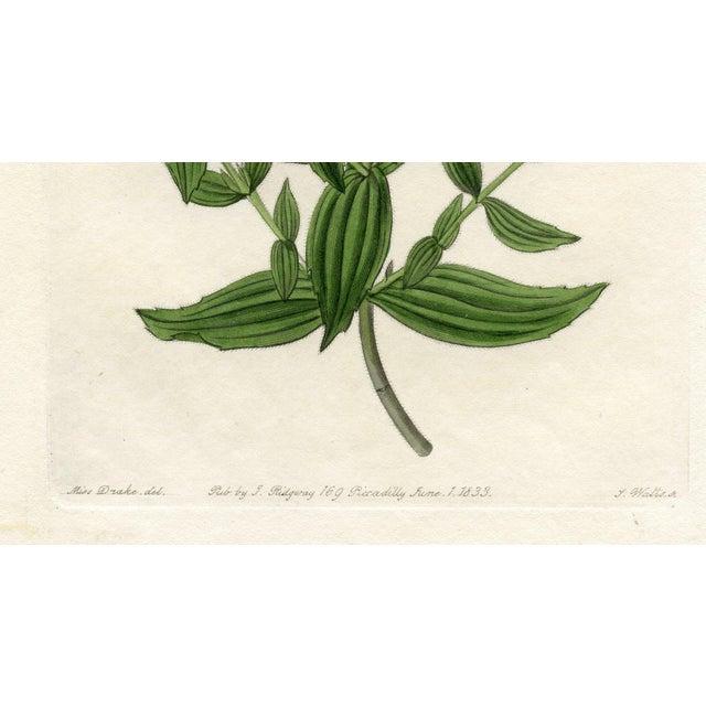 Image of Botanical Print - Monkeyflower, 1833