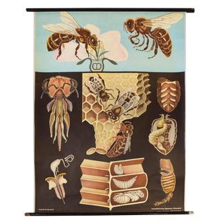German Educational Poster of Wasps
