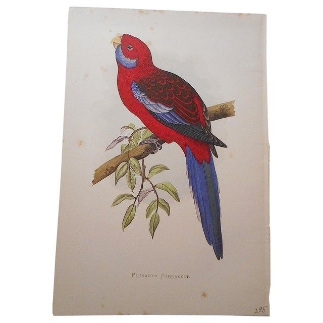 Antique Parakeet Lithograph - Image 1 of 4