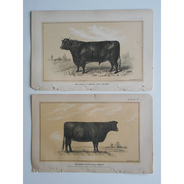 Antique Bull & Cow Lithographs - A Pair - Image 3 of 5