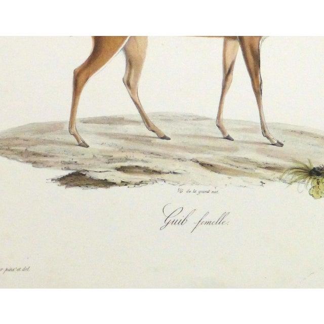 19th-Century Bushbuck Deer PrintEngraving - Image 3 of 4
