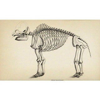 Antique Mastodon Skeleton Engraving