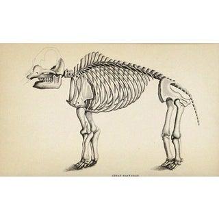 Antique Mastodon Skeleton Engraving
