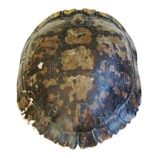 Natural Tortoise Shell