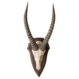 Vintage African Sable Antelope Horns Mounted in France circa 1940
