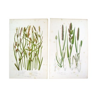 Antique 1860 Botanical Grass Lithographs - A Pair