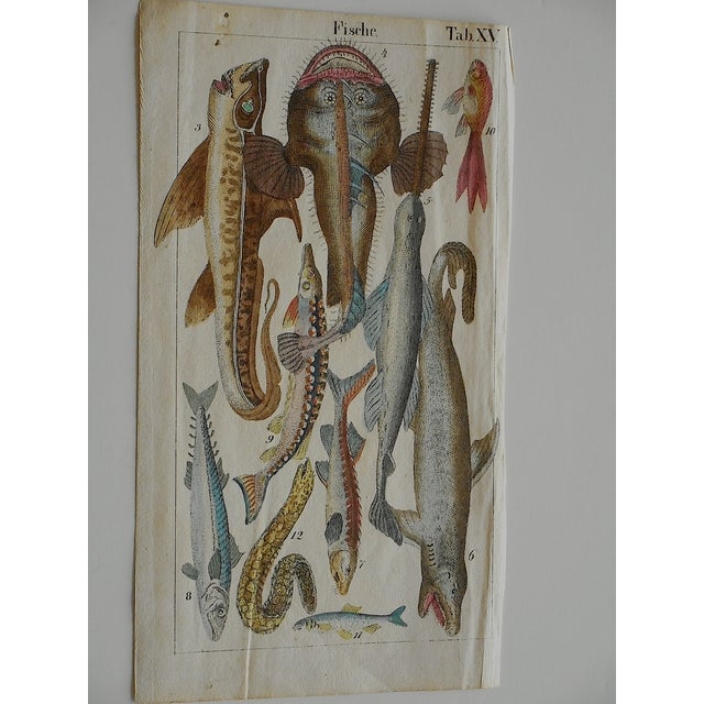 Antique Fish & Insect Engravings C.1700 - A Pair - Image 2 of 3