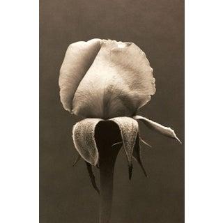 Eric Axene Gelatin-Silver Print - Rose no.2