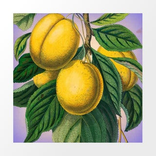 Vintage Yellow Plums Archival Print