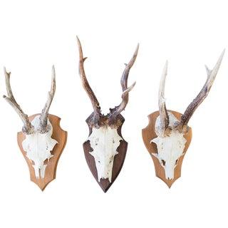 Mounted Roebuck Antlers
