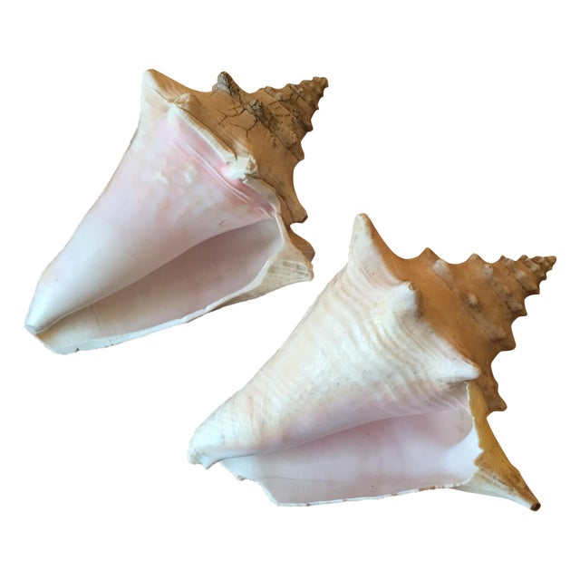 Vintage Queen Conch Shells - A Pair - Image 1 of 11
