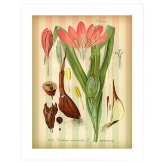 Antique 'Autumn Crocus' Archival Print