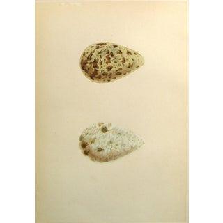 Speckled Bird Eggs, Circa 1900 Lithograph