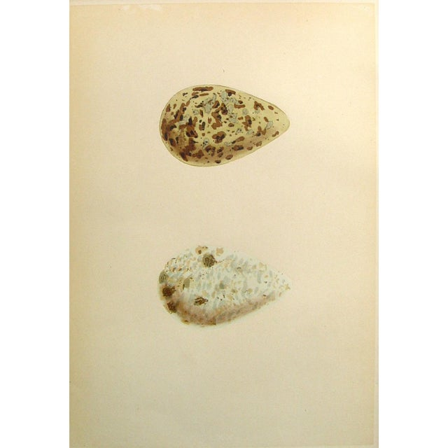 Speckled Bird Eggs, Circa 1900 Lithograph - Image 1 of 2