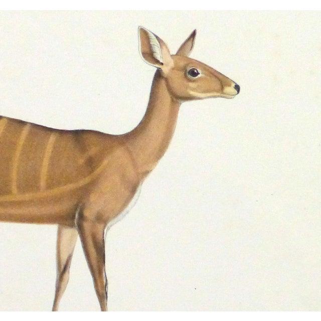19th-Century Bushbuck Deer PrintEngraving - Image 2 of 4