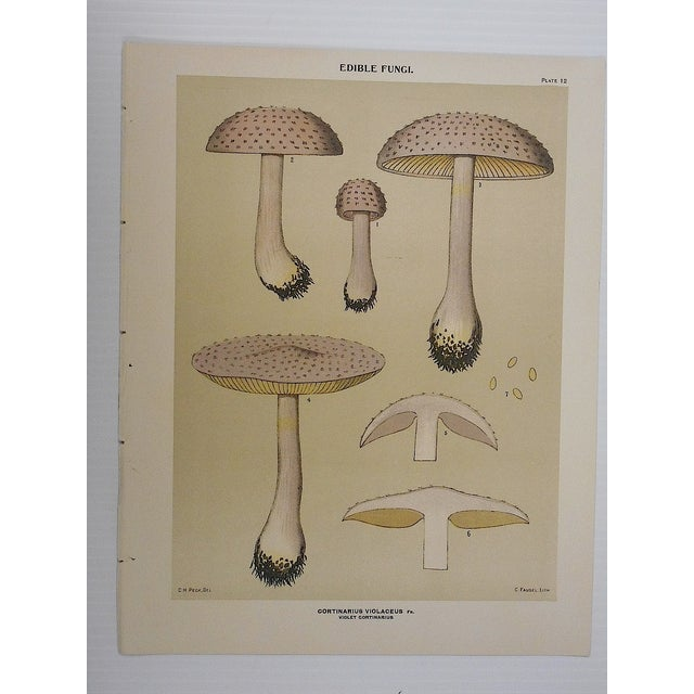 Image of Antique Mushroom Lithographs - Set of 4