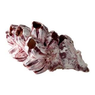 Natural Barnacle Shell